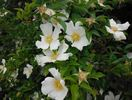 Cherokee Rose rose photo