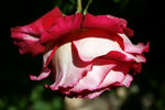 Rosie O'Donnell rose photo