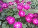 Cancan ™ rose photo