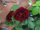 Black Prince rose photo