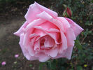 Lady Woodward rose photo