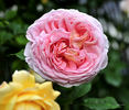 Abraham Darby ® rose photo