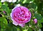 Châpeau de Napoléon rose photo
