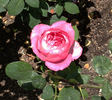 Vernon Love rose photo