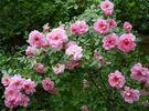 """""""Канадские розы"""" 229107"""