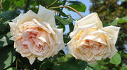 Comtesse de Noghera rose photo