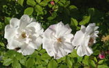 <i>Rosa arvensis splendens</i> rose photo