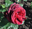 Roundelay rose photo
