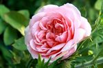 Francis Blaise ® rose photo
