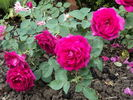 Princess Nagaka rose photo
