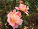 I Zingary rose photo