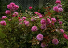 Shocking Blue ® rose photo