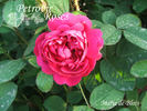 Marie de Blois rose photo