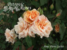 Madame Pierre Cochet rose photo