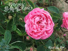 Rose du Roi rose photo