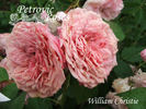 William Christie ® rose photo