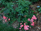 Coral Drift ® rose photo