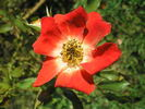 Eyepaint ® rose photo