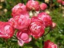 Dick Koster rose photo