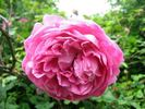 Queen of Hearts rose photo