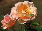 Apricot Nectar rose photo