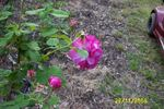 Great Western rose photo