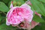 Jacques Cartier rose photo