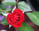 Unconditional Love rose photo