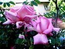 Rosy Mantle rose photo