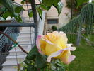 Gioia, Cl. rose photo