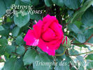 Triomphe des Noisettes rose photo