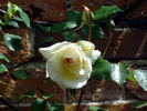 Devoniensis rose photo