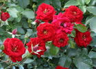 George Best rose photo