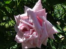 Arrillaga rose photo