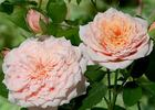 Paul Bocuse ® rose photo