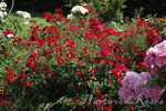 Flower Carpet Red Velvet rose photo