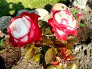 Nostalgie ® rose photo