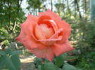 Boulie's Dream™ rose photo