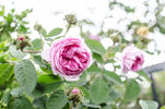 Crested Moss rose photo