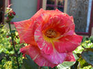 Harry Wheatcroft rose photo