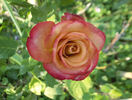 Gypsy Curiosa rose photo