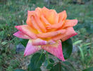 Die Welt ® rose photo