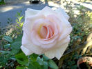 Pink Promise rose photo
