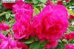 Sophie Prinzessin von Preussen rose photo