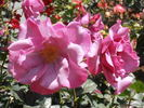 Blueberry Hill ™ rose photo