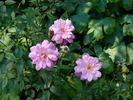 <i>Rosa rouletii</i> Correvon rose photo