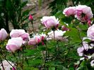 Ayrshire Splendens rose photo