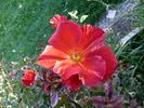 Tawny Tiger rose photo