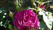 Ebb Tide ™ rose photo