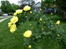 Harison's Yellow rose photo